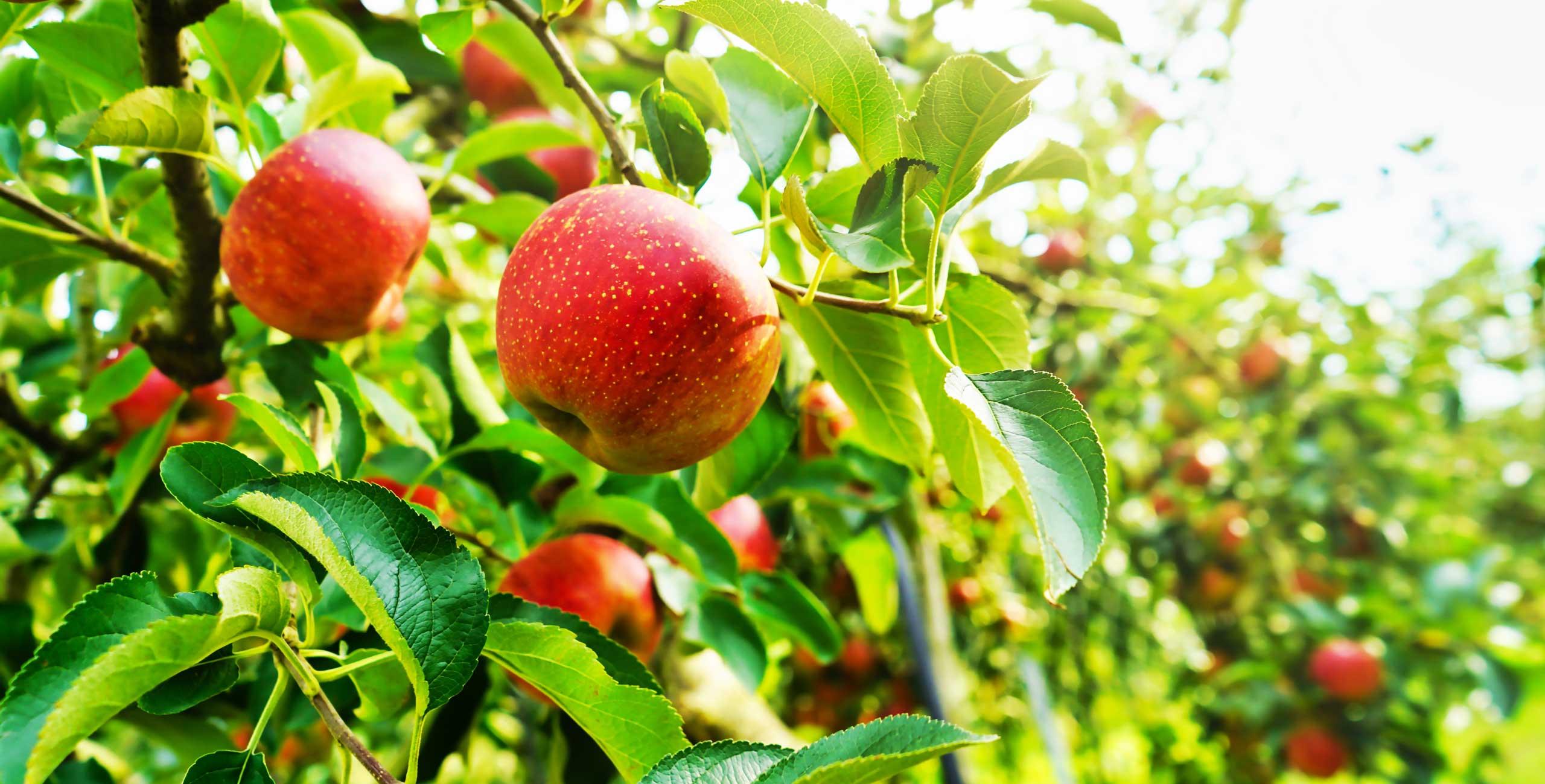 林檎の樹ららトップスライド1